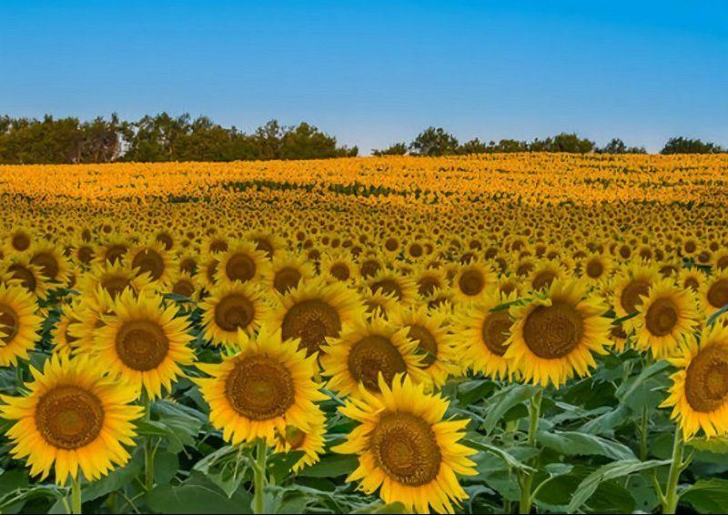 dalat sunflower